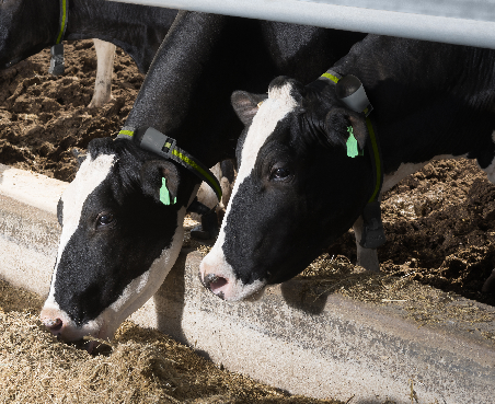 Smart Collar Tags for Cow Health Monitoring, Reproducrtion ...